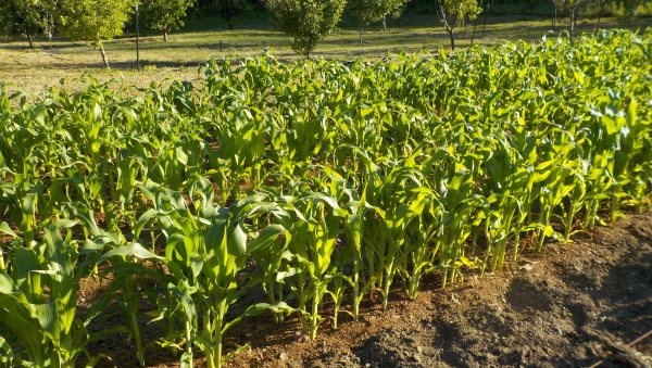 Sweet Corn growing larger