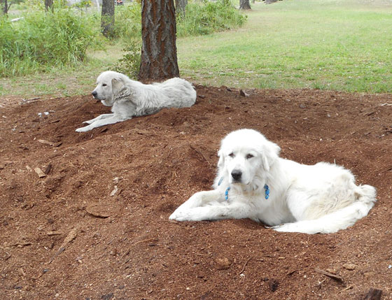 Great Pyrenees Parent Livestock Guardian Dogs